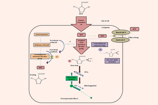Cơ chế tác dụng của Metronidazole
