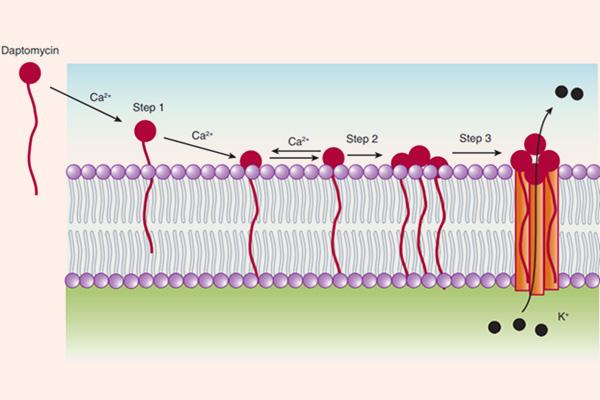 Cơ chế tác dụng của Daptomycin