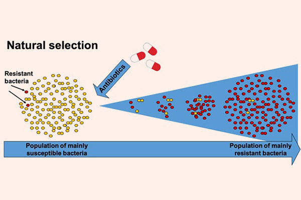 """Hình ảnh cho thấy kháng sinh giống như sự """"chọn lọc tự nhiên"""", chọn lọc các chủng vi khuẩn có sức đề kháng tốt. Khi sử dụng kháng sinh lên một quần thể gồm đa số các vi khuẩn nhạy cảm, các vi khuẩn nhạy cảm sẽ bị tiêu diệt, nhưng các vi khuẩn đề kháng thì không. Các vi khuẩn kháng thuốc sẽ phát triển bất chấp sự tấn công của kháng sinh và dần dần hình thành nên quần thể gồm đa số vi khuẩn kháng thuốc."""