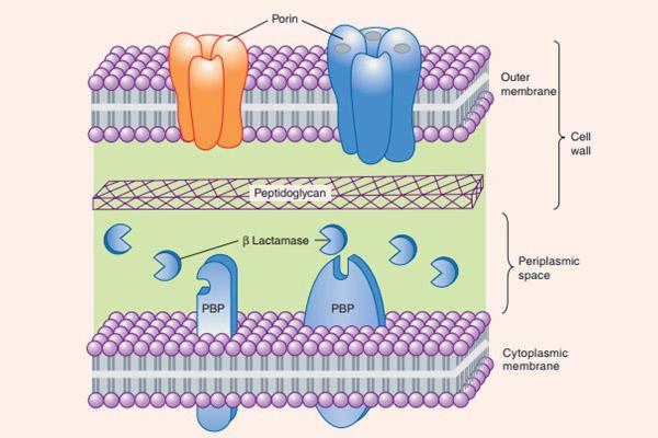 Cấu tạo thành và màng tế bào vi khuẩn gram âm, với các kênh porin ở màng ngoài, sau đó đến lớp peptidoglycan, rồi đến vùng không gian chu chất có chứa các β-lactamase và PBP nằm xuyên màng tế bào.