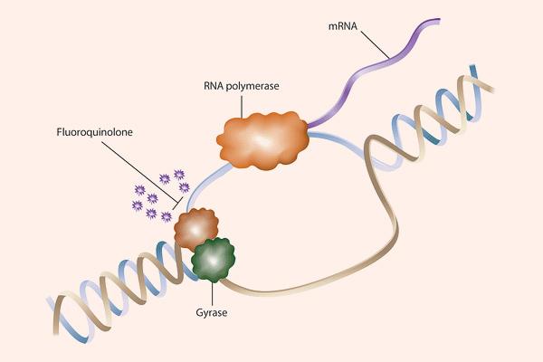 Quinolone ức chế ADN gyrase làm ức chế tháo xoắn ADN