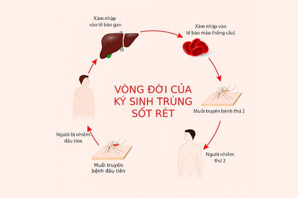 Vòng đời của muỗi kí sinh gây bệnh sốt xuất huyết