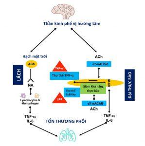Hình 2 Vai trò của các đường phế vị trong sự phát triển của tổn thương phổi.