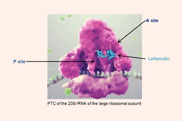 Vị trí gắn của Lefamulin trên tiểu đơn vị ribosome 50S