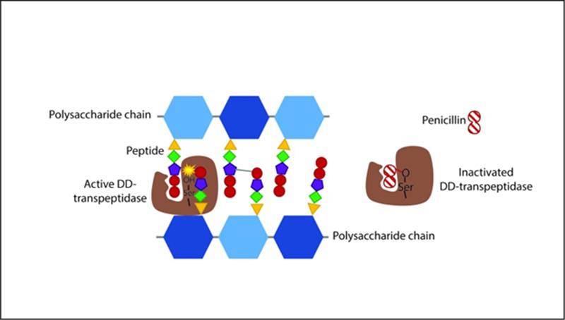 Ảnh. Hình ảnh mô tả cơ chế tác dụng của các kháng sinh nhóm Penicillin. Như trên hình biểu diễn, transpeptidase đóng vai trò quan trọng trong sự hình thành liên kết chéo giữa các chuỗi peptidoglycan, và Penicillin ức chế transpeptidase thông qua một liên kết cộng hóa trị không hồi phục.