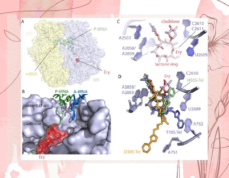 Ảnh. (A) Hình ảnh mô tả liên kết giữa phân tử Erythromycin (màu đỏ) với tiểu đơn vị ribosome 50S của E.coli. (B) Hình ảnh mô tả cận cảnh liên kết giữa phân tử Erythromycin với tiểu đơn vị ribosome 50S của E.coli, trong đó thể hiện cả vị trí tương đối của P-tARN và A-tARN so với phân tử kháng sinh. (C) Hình ảnh mô tả chi tiết liên kết giữa phân tử Erythromycin với các nucleotide cụ thể của tiểu đơn vị ribosome 50S của E.coli. (D) Hình ảnh mô tả chi tiết liên kết giữa phân tử Telithromycin với các nucleotide cụ thể của tiểu đơn vị ribosome 50S của nhiều chủng vi khuẩn khác nhau. Nhìn chung vị trí của vòng lactone thì không đổi, nhưng vị trí của chuỗi bên alkyl-aryl thì thay đổi tùy trường hợp.