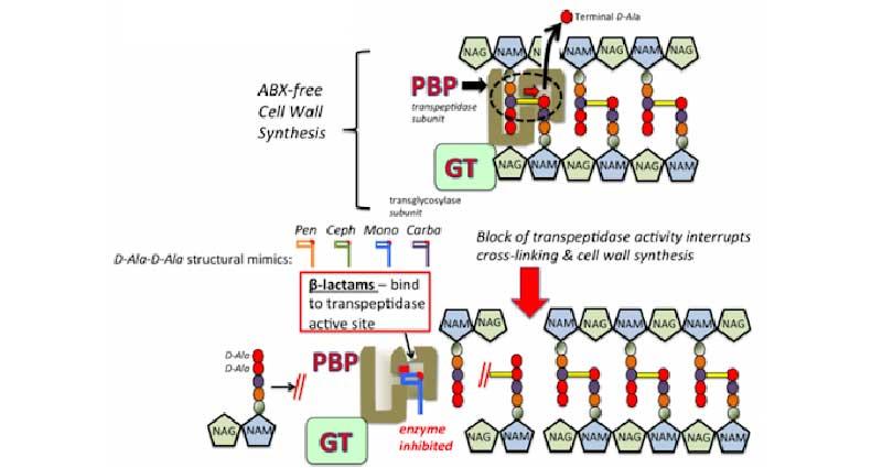 Ảnh. Cơ chế tác dụng của các kháng sinh nhóm β-lactam nói chung, bao gồm các kháng sinh nhóm Carbapenem.