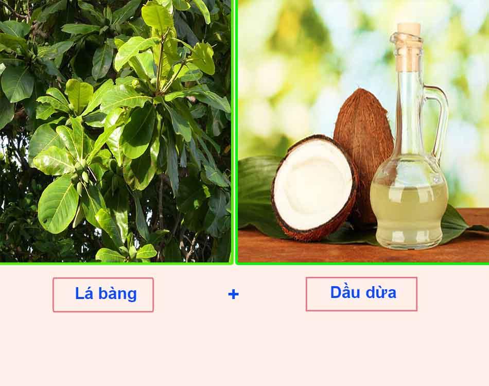 Dùng lá bàng và dầu dừa chữa trĩ