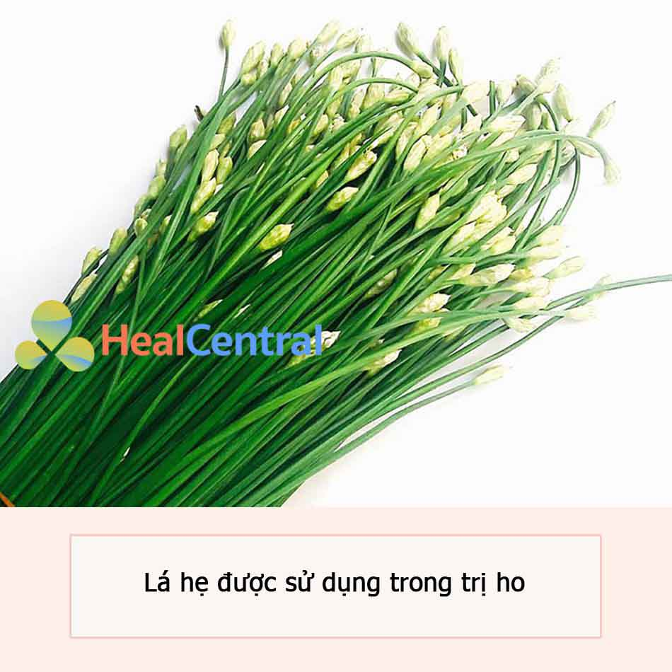 Lá hẹ được dùng trong trị ho