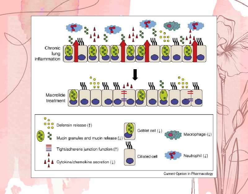 Ảnh. Mô tả ngắn gọn tác dụng của các kháng sinh nhóm Macrolide trên biểu mô đường dẫn khí. Phía trên là biểu mô đường dẫn khí trong viêm mạn tính, và phía dưới là khi đã được điều trị bằng các Macrolide.