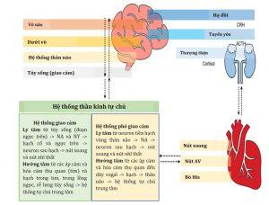 Hình 1. Các kết nối thần kinh: từ não đến tim và từ tim đến não.