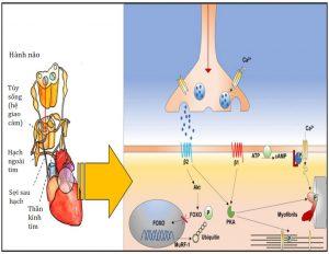 Hình 3 Đường giao cảm não - tim ở cấp độ phân tử.