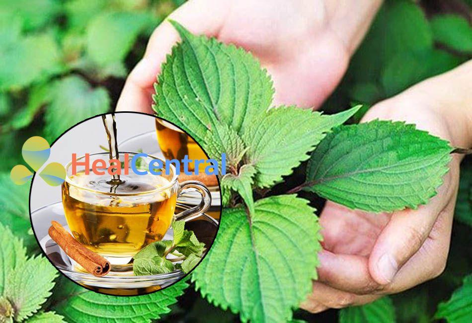 Uống nước lá tía tô trị Gout