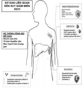 Hình. 2. Các cơ chế liên quan đến rối loạn chức năng miễn dịch liên quan đến xơ gan.