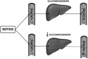 Hình. 3. Suy giảm chuyển hóa lactate trong bệnh xơ gan.