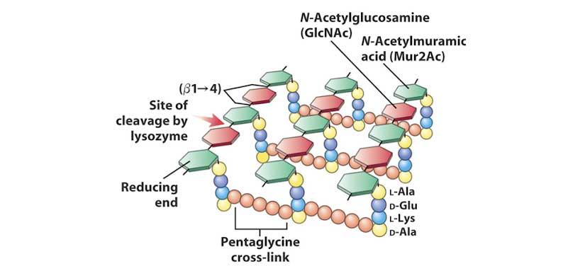 Ảnh. Hình vẽ mô tả chi tiết cấu trúc của lớp peptidoglycan.