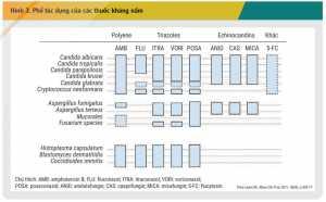 Hình 3. Phổ tác dụng của các thuốc kháng nấm