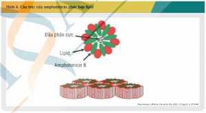 Hình 4. Cấu trúc của amphotericin phức hợp lipid