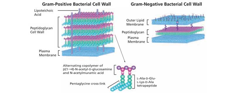 Ảnh. Sự khác biệt trong cấu tạo vách tế bào của vi khuẩn gram dương và vi khuẩn gram âm.