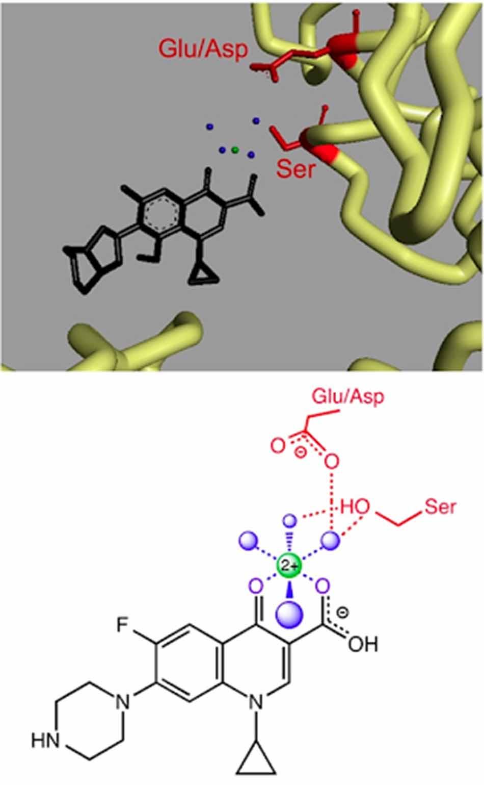 Ảnh. Phân tử Moxifloxacin (màu đen) tương tác với DNA topoisomerase IV của vi khuẩn A.baumannii thông qua tạo phức chelate với ion Mg2+ (màu xanh lá cây), ion này liên kết phối trí với 4 phân tử nước H2O (màu xanh dương) (Ở hình dưới, Moxifloxacin được thay thế bằng Ciprofloxacin). Phần màu đỏ là các phần của enzyme tương tác trực tiếp (Ser84 và Glu88 với A.baumannii).
