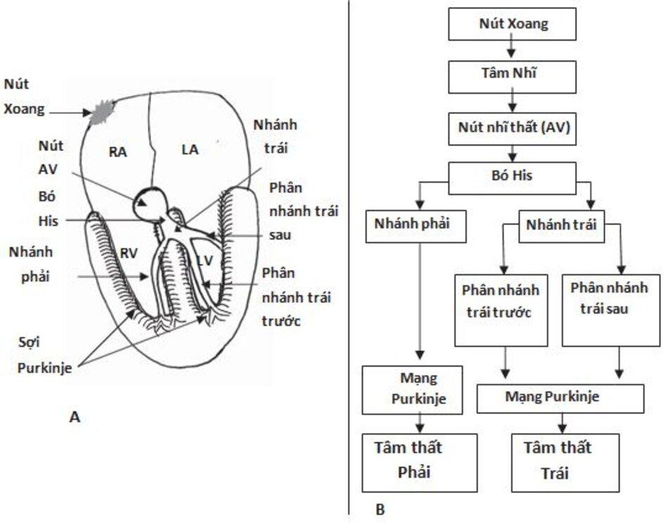 Hình 1.2: Nút xoang và hệ thống dẫn truyền trong thất của tim. (A) Sơ đồ mô tả nút xoang, tâm nhĩ, nút nhĩ thất (AV) và hệ thống dẫn truyền trong thất . (B)Sơ đồ mô tả sự dẫn truyền liên tục của xung động tim từ nút xoang đến tâm thất. AV: nhĩ thất; BB: nhánh; LA: nhĩ trái; LV: thất trái; RA: nhĩ phải; RV: thất phải.