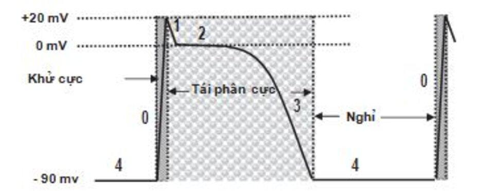 Hình 1.4: Điện thế hoạt động của tế bào cơ tâm thất. Điện thế hoạt động của tế bào cơ tâm thất được mô tả. Pha 4 tương ứng với điện thế nghỉ, khoảng 90 mV. Khi tế bào bị khử cực, điện thế thay đổi đột ngột từ 90 mV đến 20 mV và nó được biểu hiện bằng đường đi lên nhanh hoặc pha 0. Pha 1 giảm trở về 0 mV. Pha 2 tương ứng với pha cao nguyên và được duy trì ở 0 mV trong một khoảng thời gian nhất định. Pha 3 nhanh chóng quay về điện thế nghỉ cơ sở 90 mV.