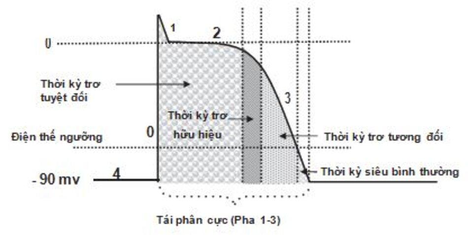 Hình 1.6: Tái phân cực và thời kỳ trơ. Tái phân cực bao gồm pha 1 đến pha 3 của điện thế hoạt động. Thời kỳ trơ tuyệt đối bao gồm pha 1 và pha 2 trong đó tế bào không thể bị kích thích bởi bất kỳ xung độn nào. Thời kỳ trơ hữu hiệu bao gồm một phần nhỏ của pha 3 trong đó một kích thích có thể gây ra một phản ứng cục bộ nhưng không đủ mạnh để lan truyền đi. Thời kỳ trơ tương đối là phần của pha 3 kéo dài đến ngưỡng điện thế. Tế bào sẽ đáp ứng với kích thích mạnh hơn bình thường. Thời kỳ siêu bình thường bắt đầu ngay dưới ngưỡngđiện thế nơi mà tế bào có thể đáp ứng với những kích thích yếu hơn bình thường.