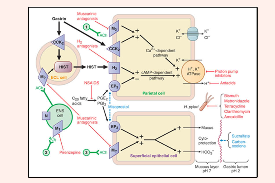 Cơ chế bài tiết acid ở dạ dày và đích tác dụng của các thuốc