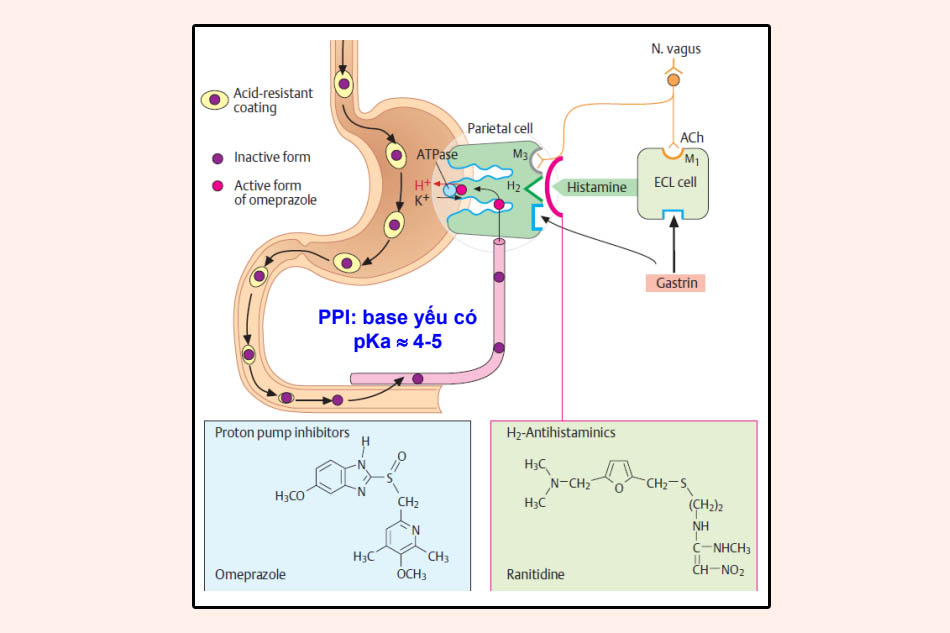 Đường đi của các thuốc PPIs sau khi uống