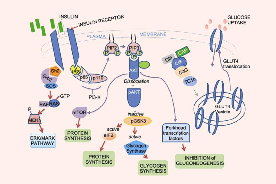 Ví dụ về con đường tín hiệu insulin