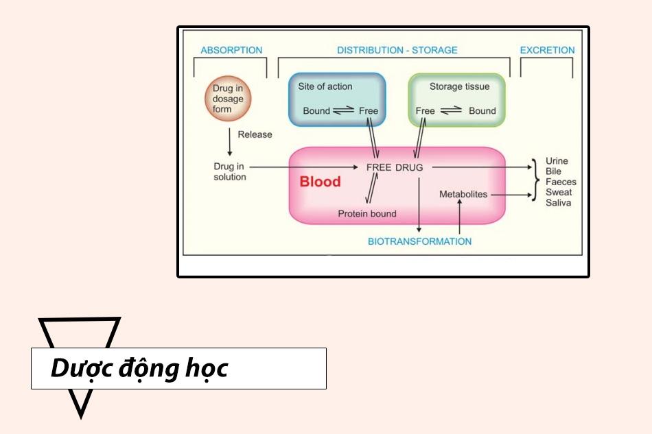 Dược động học của Hydroxyurea