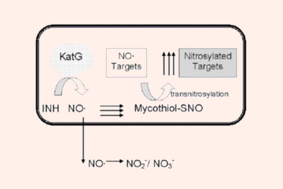 Phản ứng nội bào của gốc NO• sinh ra từ Isoniazid với mycothiol tạo ra S‐nitrosomycothiol