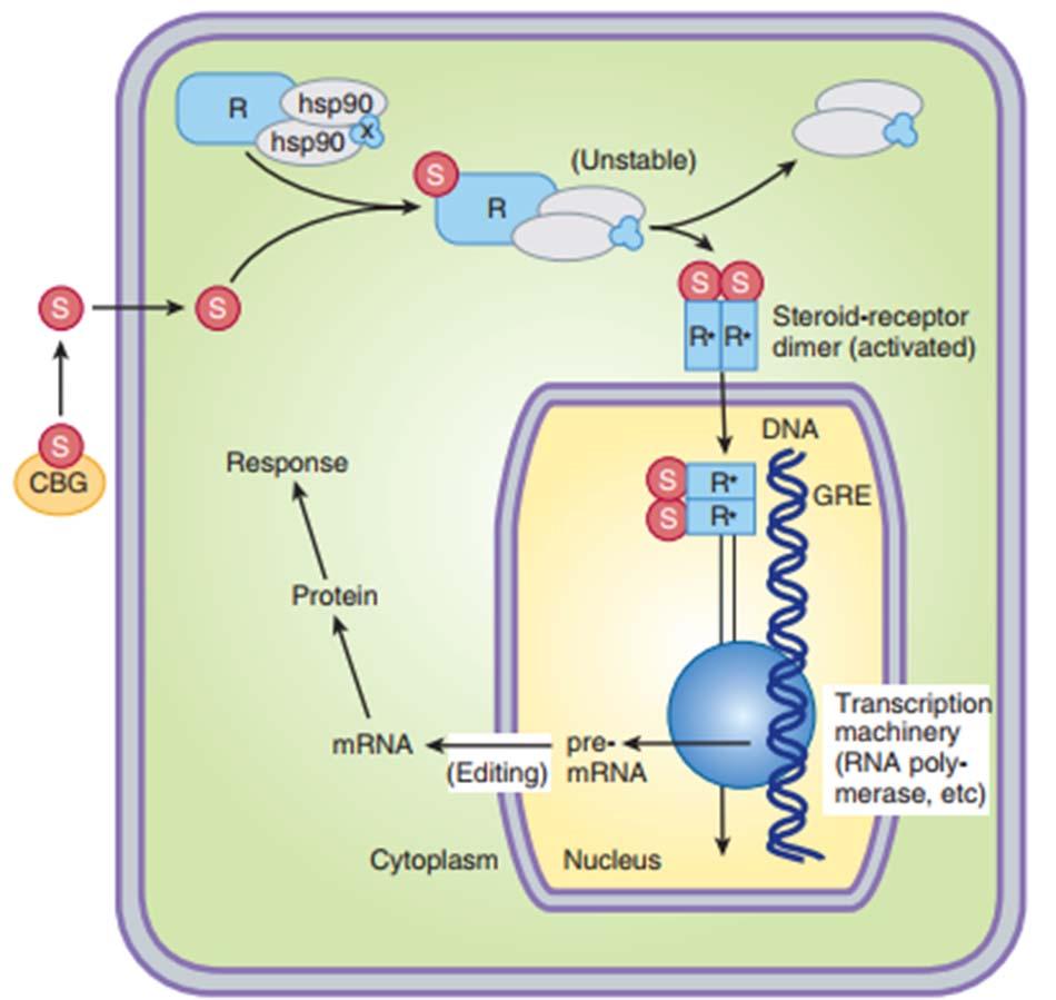 Ảnh. Cơ chế tác động thông qua hệ gen (genomic) của corticoid.