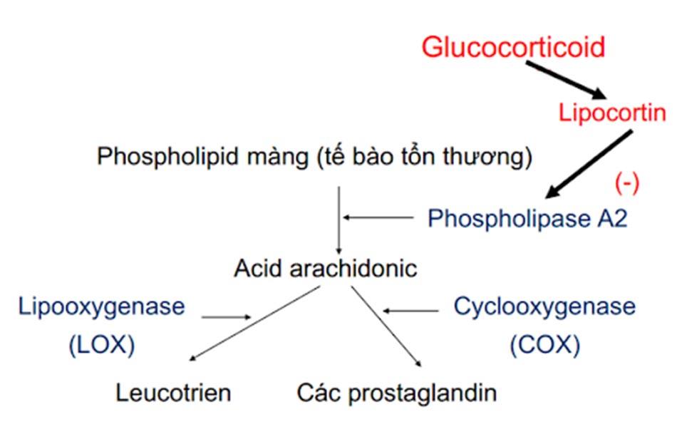 Ảnh. Một cơ chế chống viêm của các corticoid thông qua ức chế hình thành các prostaglandin gây viêm.