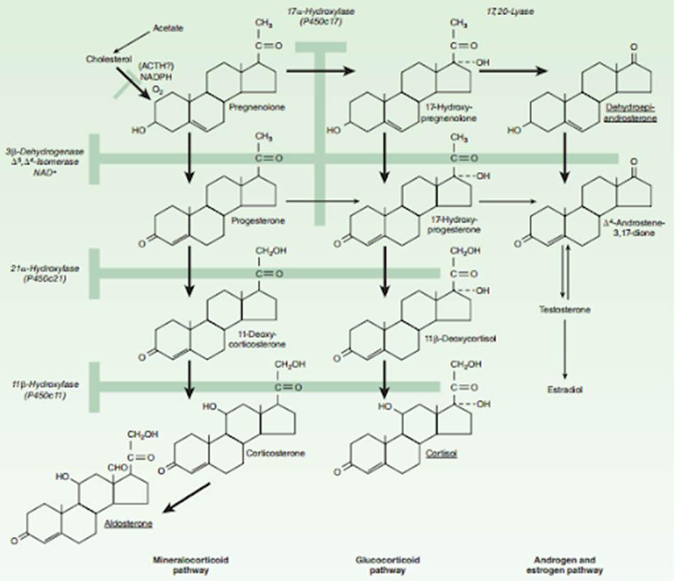 Ảnh. Con đường sinh tổng hợp các hormon steroid vỏ thượng thận.