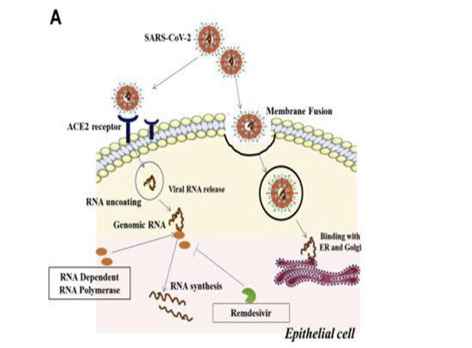(hình từ Abinit Saha, et al., Probable Molecular Mechanism of Remdesivir for the Treatment of COVID-19: Need to Know More, Archives of Medical Research, Volume 51, Issue 6, 2020, Pages 585-586)